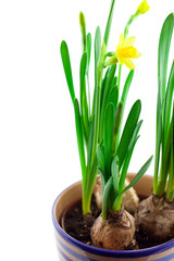 yellow narcissus in pot isolated