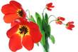 Red spring tulips in vase