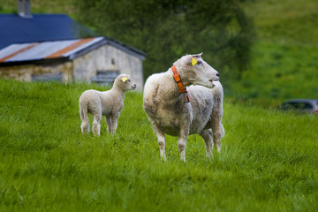 Sheep in the field in Norway