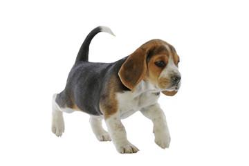 jeune chiot beagle marchant en studio sur fond blanc