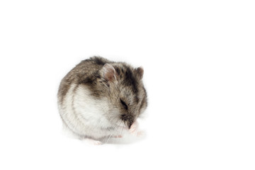 Moving Hamster, Isolated on White