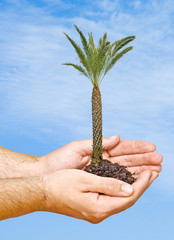 Palm tree in hands as a symbol of nature potection