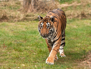 Sumatran tiger approaching the camera
