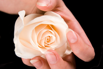 White rose and hand