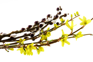spring blooming twigs isolated