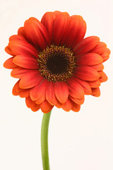 Gerbera Red Flower
