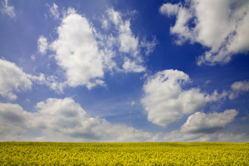 Yellow field and the blue sky