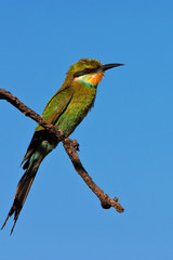 Shallowedtailed Bee-Eater