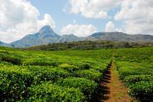 """Постер, картина, фотообои """"Tea plantation"""""""