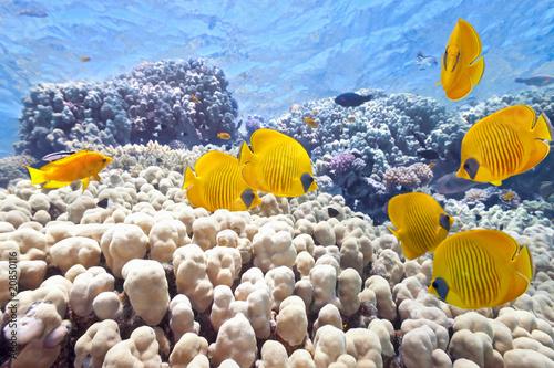 Ławica ryb motyla na rafie koralowej