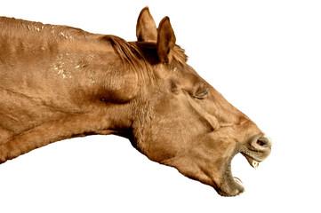 Wieherndes Pferd, freigestellt