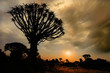 Quiver tree silhouette at sunrise with clouds, Namibia