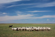 Herd of sheep, Inner Mongolia, China