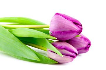 Three purple tulips