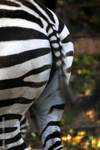 Foto op Plexiglas Zebra Grantzebra von hinten