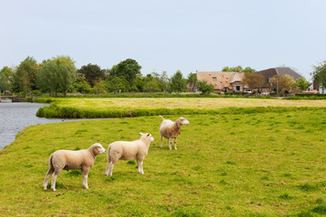 Dutch landscape with sheep