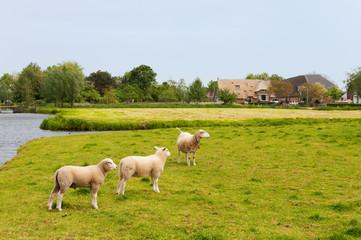 Dutch landscape with sheep