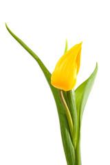 Yellow Dutch tulip over white background