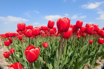 Tulip bulb fields in Holland