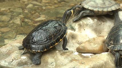 Green Turtle, red eared slider, sunbath on rocks
