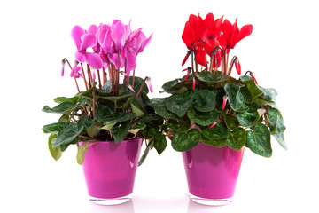 Red and pink Cyclamen