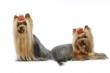 deux yorkshire terriers côte à côte dans deux positions