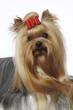 portrait d'un yorkshire terrier avec un noeud dans les poils