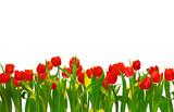 Fototapety Tulpen freigestellt