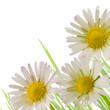 daisy flowers white background, floral design spring season
