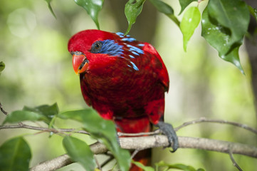 Blue-streaked Lory (Eos reticulata)