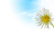 daisy flower, floral design spring season - sky and sun