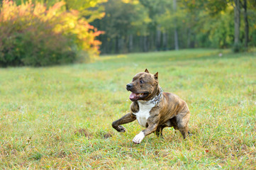 running pitbull terrier dog
