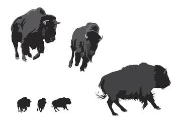 bison galloping