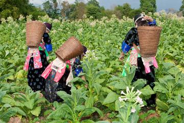 Hmong von Asien ernten Tabak