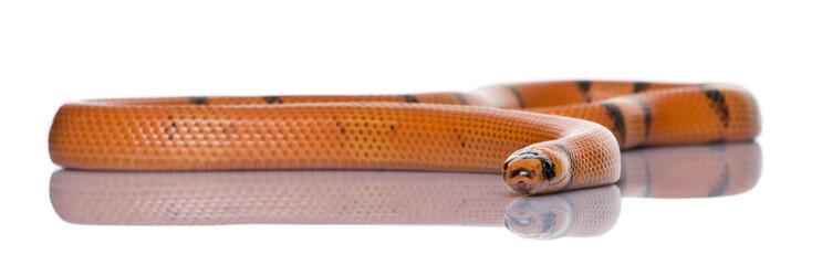 Honduran milk snake, Lampropeltis triangulum hondurensis, slithe