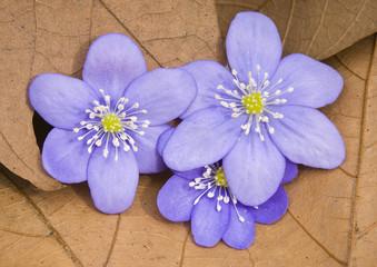 Liverwort flowers (Hepatica nobilis)
