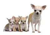 Chihuahua mother and her 3 puppies, 8 weeks old - 20949165