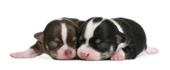 Mother Chihuahua and her puppy, 4 days old, resting