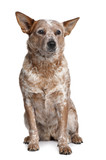 Australian Cattle Dog, sitting in front of white background