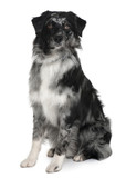 Australian Shepherd dog, sitting in front of white background