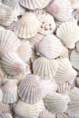 White scallops