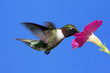 Male Ruby-throated Hummingbird (archilochus colubris)
