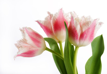 bouquet of the fresh tulips on white background