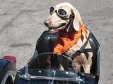 motociclist câine