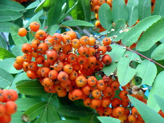 fruits of rowanberry