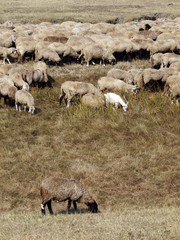 sheep and goat herd grazing