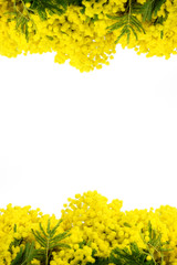 Mimosa cornice