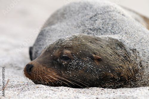 Dreaming sea lion