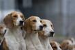 Beagle Hundemeute