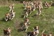 Beagle Hundemeute - 20977939